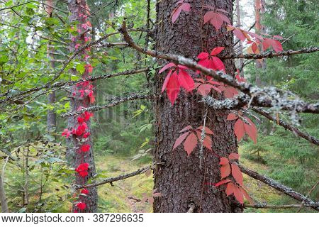 Fragment Of A Forest Landscape. On The Trunks Of The Pine Trees, Rising Stems Of Ivy With Bright Red
