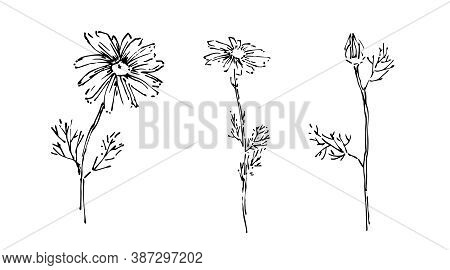 Hand Drawn Wild Flower Collection. Outline Aster Or Chamomile With Leaves Painted By Ink. Black Isol