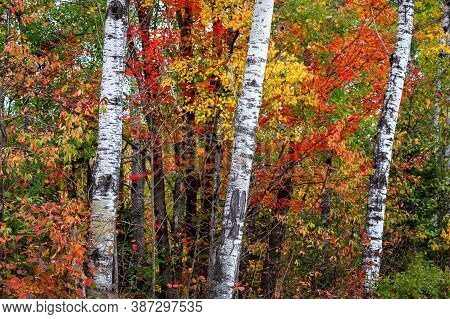 Three Birch Trees In The Forest With Brilliant Autumn Foliage