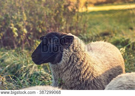 Sheep On Pasture - Close Up View Of Sheep - Suffolk - Sheep With Black Head - On Meadow, Sunset