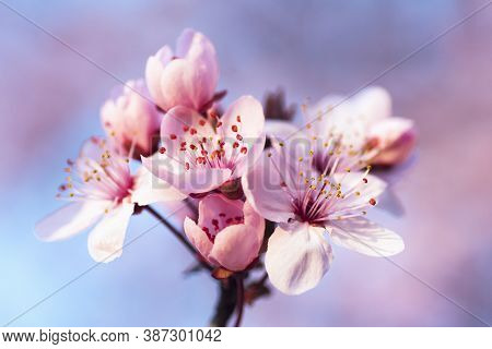 Beautiful Pink Spring Flowers On Blossoming Branch Of Tree On Blur Background.