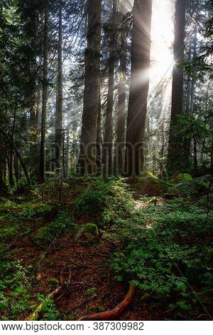 Dreamy View Of The Sunrays In A Rainforest During A Sunny And Foggy Day. Taken In Cypress Provincial