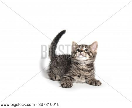 Cute Tabby Looking Up On White Background