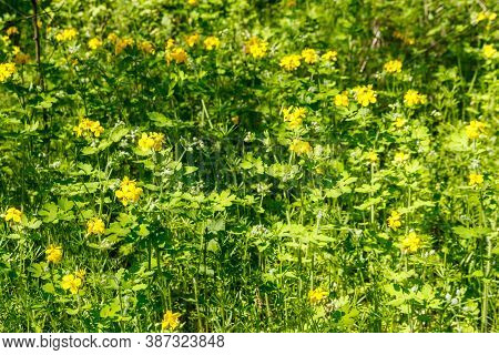 Flowers Of Yellow Celandine In Forest. Chelidonium Majus, (commonly Known As Greater Celandine, Nipp