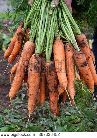 A Bunch Of Fresh Or Freshly Picked Carrots Full Of Vitamins. Organic Farming. The Concept Of A Healt
