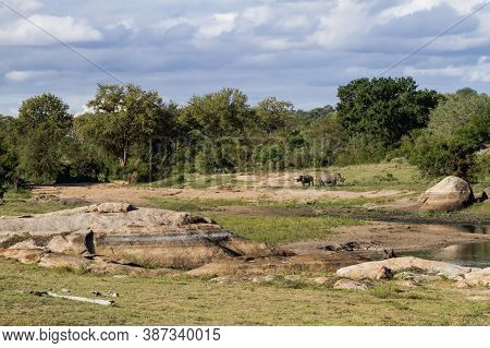 Scenic View Of A Pair Of Endangered Southern White Rhinoceros (ceratotherium Simum Simum) Near A Riv