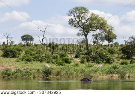 Hippo Bathing Partially Submerged In A River Watching The Scenery In Kruger National Park, South Afr