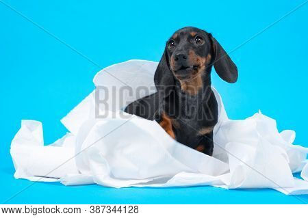 Cute Little Black And Tan Dachshund Puppy Wrapped With White Cotton Diapers, Napkins Or Toilett Pape