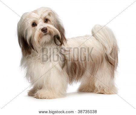 Beautiful Chocolate Havanese Dog