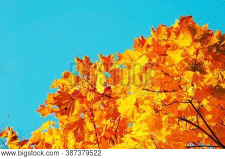 Autumn leaves background with free space for text. Colorful orange autumn maple leaves against blue sky. Autumn background with golden leaves, autumn forest landscape