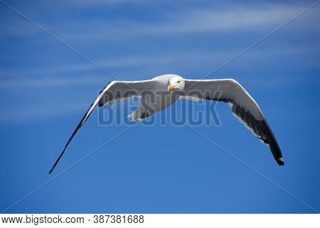 Seagull In Flight, Looking At The Viewer. Seagull outdoors sea fly freedom Close-up photo of a seagull flying in the blue sky along the coast of Chile
