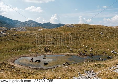 Herd Of Wild Horses Drinking Water In The Mountains Lake In The National Park Durmitor, Montenegro.