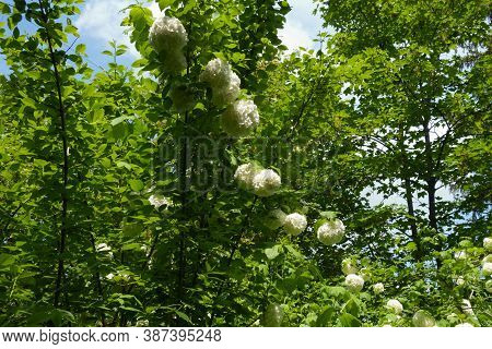 Erect Branches Of Viburnum Opulus Sterile In Bloom In Mid May