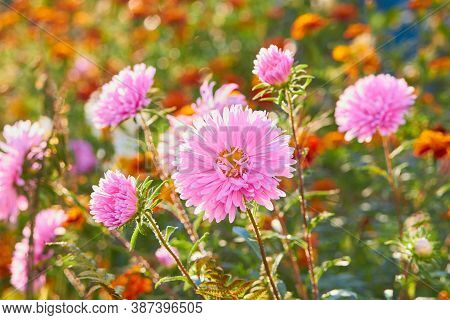 Autumn Aster Flowers In The Sun, Beautiful Autumn Aster Flower At Sunset With Blurred Bright Backgro
