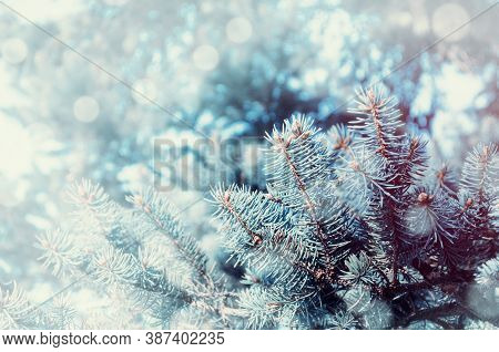 Christmas winter snowy background. Blue pine tree branches under winter falling snow, winter forest nature with free space for Christmas text
