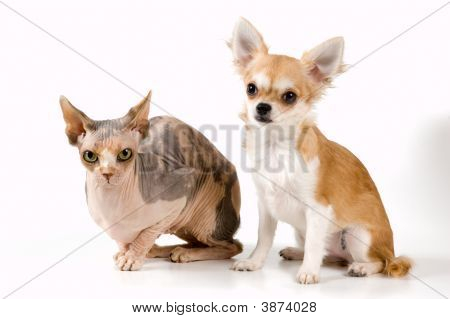 Chihuahua And The Canadian Sphynx In Studio