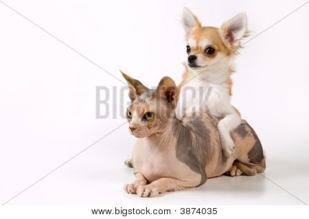 Chihuahua And Canadian Sphynx In Studio