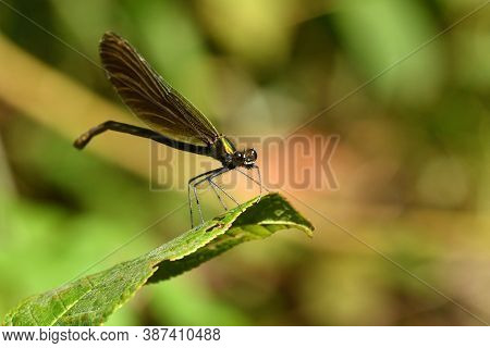 Willow Emerald Damselfly Holding A Blade Of Grass Above The Water By The River