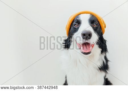 Funny Studio Portrait Of Cute Smiling Puppy Dog Border Collie Wearing Warm Knitted Clothes Yellow Ha