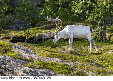 White Reindeer Of The Sami People Along The Road In Norway