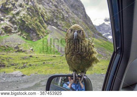 Kea Parrot Sitting On A Car Mirror