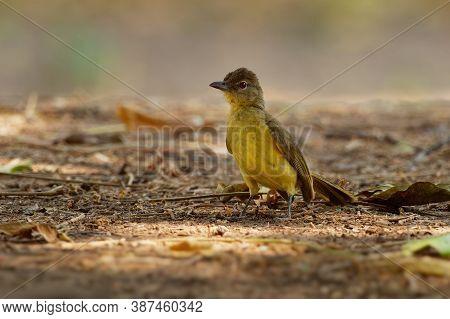 Chlorocichla Flaviventris - Yellow-bellied Greenbul Songbird In Bulbul Family  Pycnonotidae, Found I