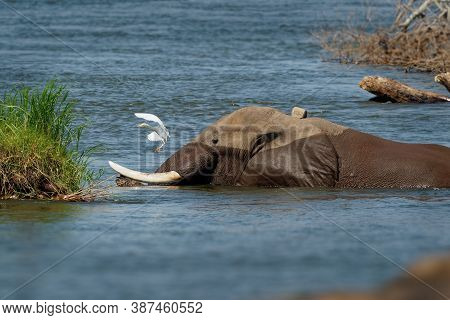 African Bush Elephant - Loxodonta Africana Elephant Bathing And Swimming In The River Zambezi, Mana