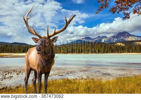 The Rocky Mountains of Canada. Noble branched deer grazing in the tall grass. Small round lake with cold green water. Jasper Park. Coniferous forest  reflected in the water.