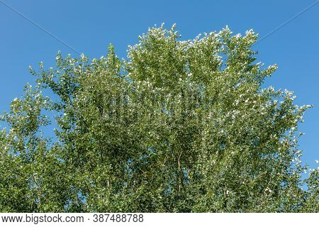 Green Deciduous Tree And Blue Cloudless Sky In Summer