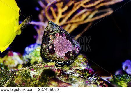 Saltwater Trochus Snail In Reef Aquarium Tank