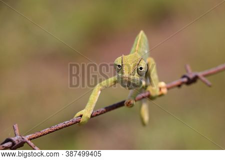 Flap Necked Chameleon On Wire Looking (chamaeleo Dilepis), Groot Marico, South Africa