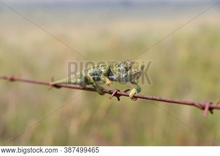 Flap Necked Chameleon Navigating Barbed Wire (chamaeleo Dilepis), Groot Marico, South Africa