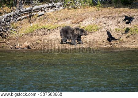 Grizzly Chases Away Ravens From His Buried Bull Elk Carcass He Caught Along The Yellowstone River, I