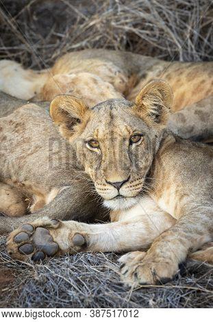 Close Up On Baby Lion's Face In Samburu Reserve In Kenya