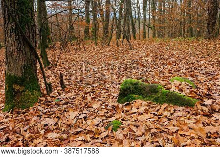Forest And Fallen Foliage In November. Dry Leaves On The Ground. Leafless Branches And Trunks With M