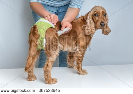 Woman Changing Diaper Of Her Dog - Estrus Cycle Or Incontinence Concept