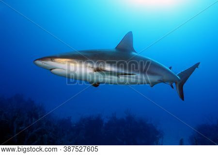The Caribbean Reef Shark (carcharhinus Perezii) Swims Over Reef In Blue. A Large Reef Shark With A B
