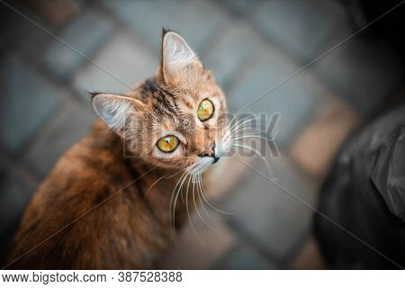 A Cute Brown Cat Sits On The Street And Looks At The Camera. A Fluffy Pet With Yellow Eyes Looks At