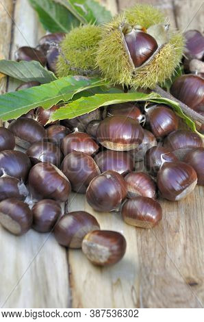 Close On A Group Of Sweet Fresh Chestnuts Just Harvested On A Plank
