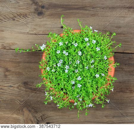 Bacopa Monnieri, Called Water Hyssop. It  Is Used In Aurvedic Medicine For Better Memory. Flat View.