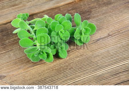 Bunch Of Indian Borage, Plectranthus Amboinicus. It Is Used As Curative And Food Plant. Good Against