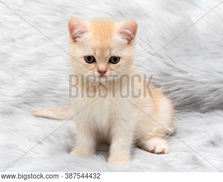 Cream british kitten close up