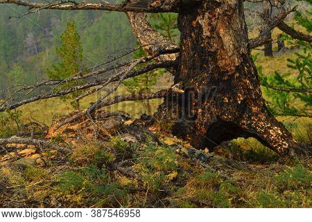 Orange Black Trunk Of Burnt Coniferous Tree With Branches And Root After Fire Among Green Grass In F