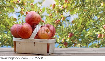 Red Apples In Little Basket On A Wooden Table In Front Of Branch And Foliage Of Apple Tree