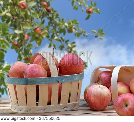 Group Of Red Apples In Little Basket On A Wooden Table In Front Of Branch Of Apple Tree On Blue Sky