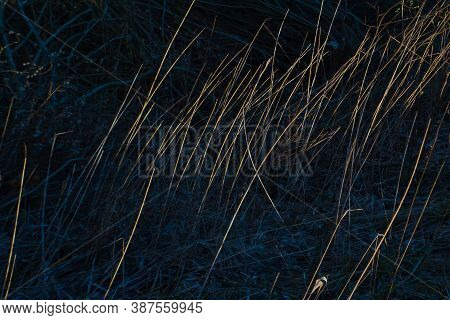 Dry Yellow Thin Reed Grass At Sunset Of Autumn Sun In Dark Shadow Field. Texture, Macro, Close-up