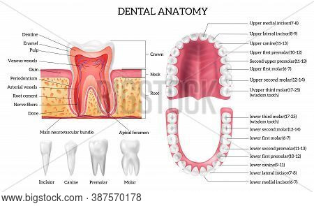 Tooth Anatomy Infographics With Labelled Teeth Types And Oral Cavity Structure Realistic Isolated Ve