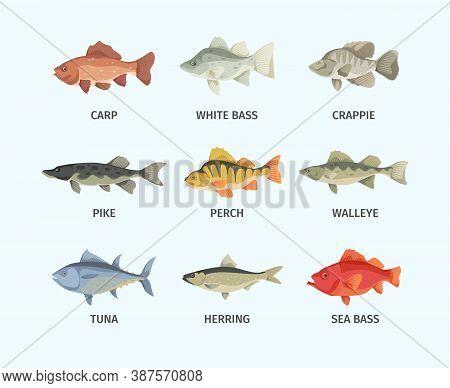 River And Sea Fish Set. Huge Sea Bass Fast Schooling Tuna Predatory Gray Pike Broad Finned Underwate