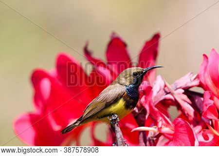 Yellow-bellied sunbird closed up image holding on red canna flowers with daylight in the garden background