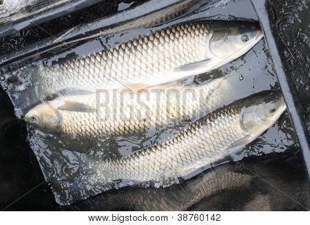 Amur fish images illustrations vectors amur fish stock for White amur fish